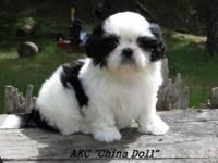 AKC Female Puppy will be ready for her forever home on
