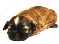 This Golden w/Black Mask young puppy is one of a