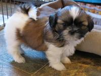 Gorgeous AKC registered puppy is ready now. 1 female