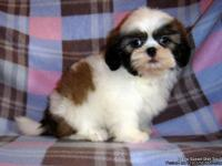 AKC Shih Tzu Girls 1-3F, Champion Bloodlines Both