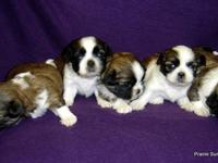AKC Shih Tzu Girls Champion Bloodlines, Born 5-10 Red