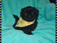 """ Dixon "" Such a Sweet little boy. AKC MALE shih-tzu"