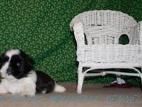 At Mystic Mountain Kennels we reproduce ShihTzu young