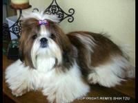 Tonka is a red and white AKC pure bred Shih Tzu. He