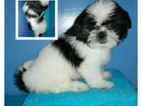 Male AKC shih Tzu looking for his furever home! He is
