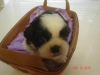 Shih Tzu AKC registered Black and White Male. He has a