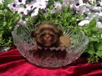 ONLY 3 LEFT!! AKC Shih Tzu puppies. 5 beautiful little
