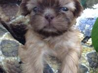 ONLY 2 LEFT!! READY SOON !! AKC Shih Tzu puppies. 5
