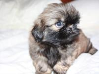Shih Tzu Born July 28 2014 and is ready to go playful,