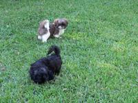 Born July 22,2014. 2 male AKC Shih Tzu puppies.11 weeks