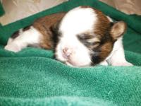 AKC male Shih-Tzu puppy. Beautiful gold and white with