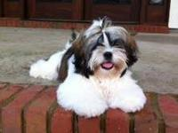 This beautiful tri-color male Shih Tzu has a wonderful
