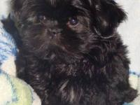 I have AKC Beautiful Smart Home Raised Shih Tzu