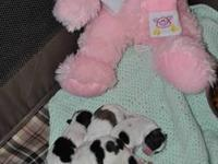 ADORABLE AKC SHIH TZU PUPPIES - AS OF JUNE 14, 2012 I
