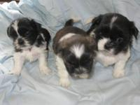 AKC Shih Tzu puppies, 3 females and 2 males, DOB