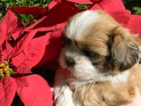 AKC Shih Tzu puppies now taking deposits! Will be ready