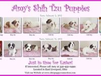 Beautiful AKC Registered Shih Tzu Puppies. True livers