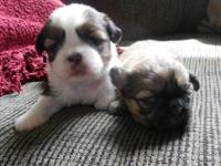 A Beautiful Brindle Female AKC Shih tzu born 4/13/2013.