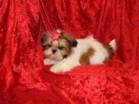 We have Akc Shih-Tzu puppies for sale they are all up