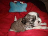 Price Reduction!! Litter of 5 Shih Tzu puppies born