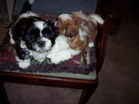 I have two very handsome boy puppies. They are AKC.