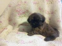 AKC Shih Tzu Puppies available for sale. 8 weeks old,