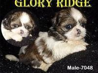 Our High Quality male puppies come NEUTERED and MICRO