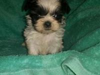 AKC ShihTzu Puppies- Black/White is a female and she is