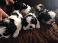 I have 4 male Akc Shih Tzu puppies located in Fort