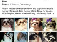 AKC shihtzu puppies! Rancho Cucamonga , CA  This ad was