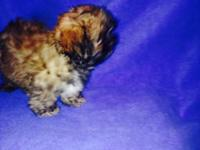 Purebred Shih Tzu puppies ready to go now. They had dew