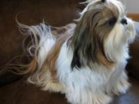 AKC Reg. Shih Tzu puppies for sale. Both sire and dam