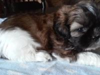 I have a litter of AKC Shih Tzu puppies available July