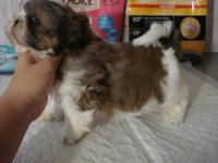 ***UPDATED 7/24/12*** Gorgeous AKC Shih Tzu puppies!!!