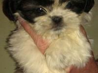 WE HAVE 3 BEAUTIFUL FEMALE SHIH TZUS AVAILABLE. THEY