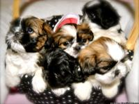 AKC home raised purebred shih tzu puppies. We have 3