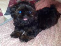 Gorgouse Male Shih Tzu puppy!! Cory is a beautiful Rare