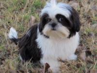 Adorable female Shih tzu born 12/18/12. She is black