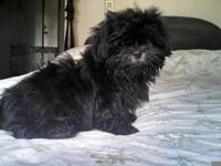Sweet, small and adorable AKC purebred Shih-Tzu puppy