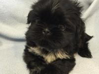 AKC Shih Tzu puppy, you can't help but love him, he has