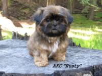 Born 3/24/2015 Last one! AKC Shih-Tzu puppy, male,