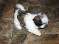 AKC White & Gold Male Shih Tzu puppy, now 14 weeks. We
