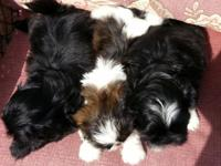2 Females-1 black and 1 tri-colored-$800 1 Male-black