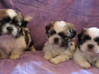 Gorgeous AKC registered puppies will be available later