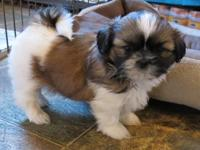 Gorgeous AKC registered puppies will be available early