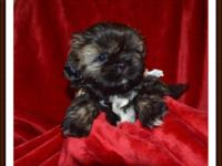 """ RICKY"" ADORABLE AKC MALE shih-tzu avail to a pet"