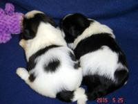 AKC Shih Tzu's, Pepper's Puppies, Champion Grand Sired.