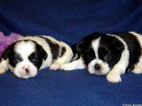 AKC Shih Tzu's. Peppers puppies,Champion Grand Sired.
