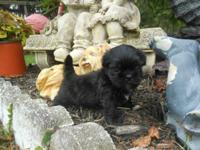 AKC Shih Tzu puppies. 1 beautiful fat little healthy