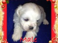Absolutely stunning, Male Shihtzu Puppy now at 4 weeks